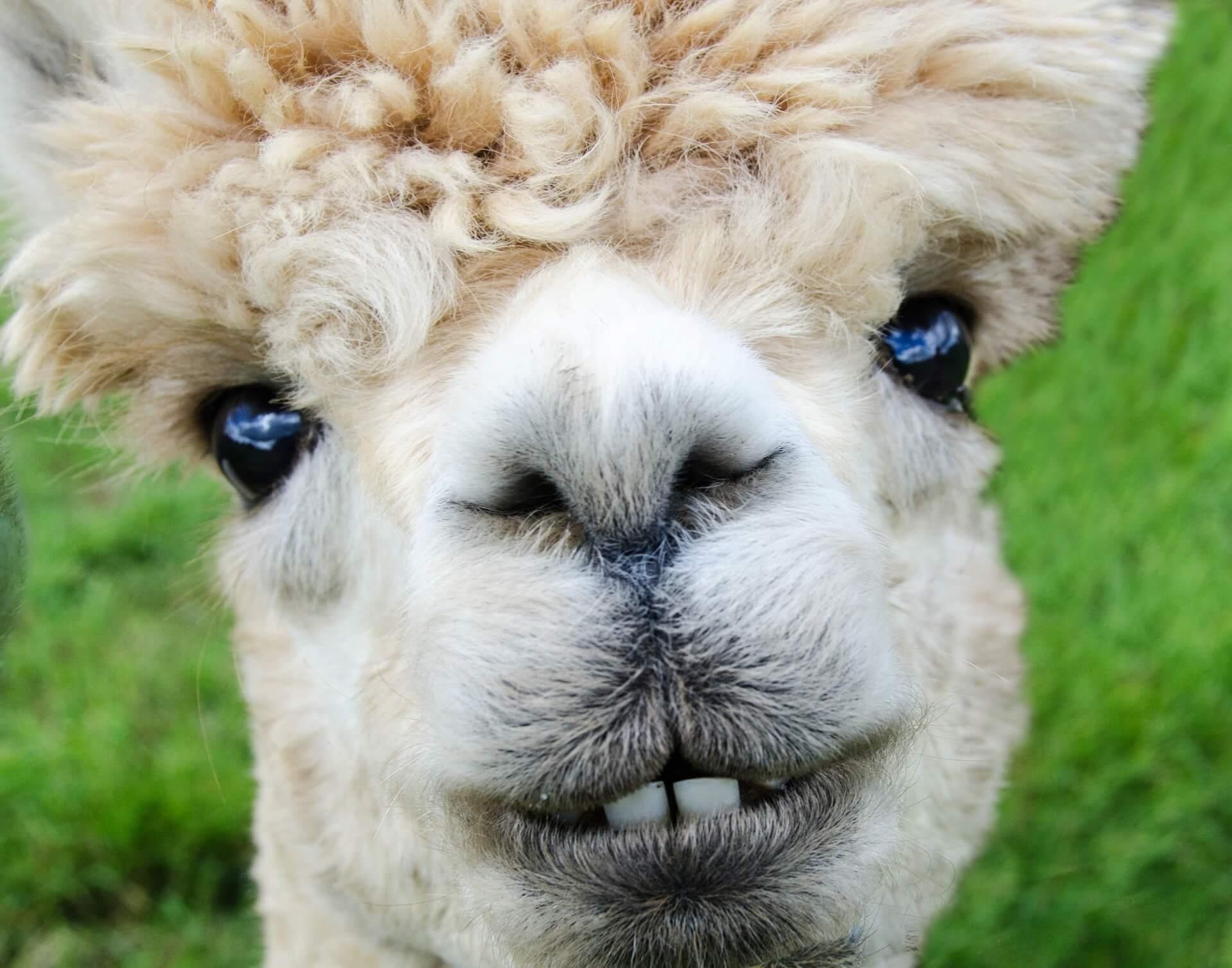 alpaca-985158_1920